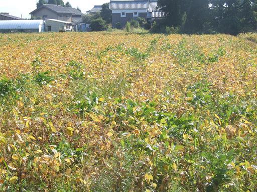 大豆畑の落葉
