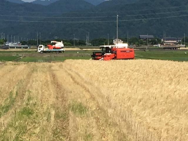 麦刈り 始まる