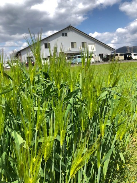 麦の出穂が始まった