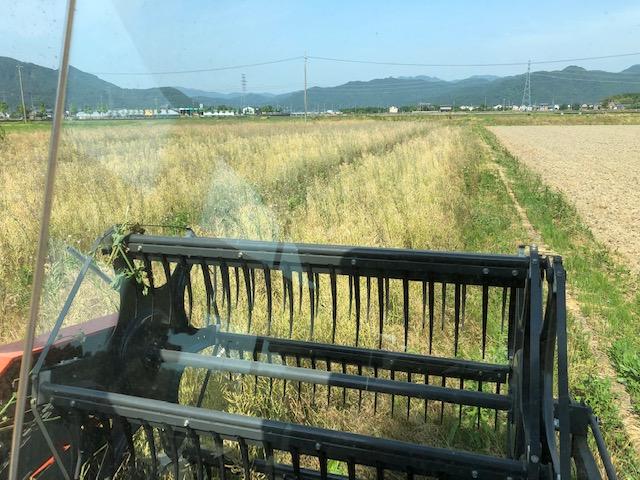 菜種 刈り取り