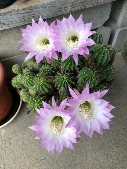 サボタテンの花