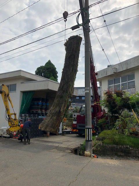 欅の木 伐採